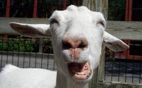 Funny goat singing whatsapp status